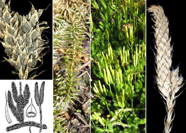 Lycopodium clavatum L.