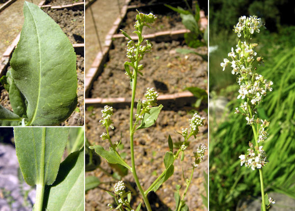 Lepidium latifolium L.