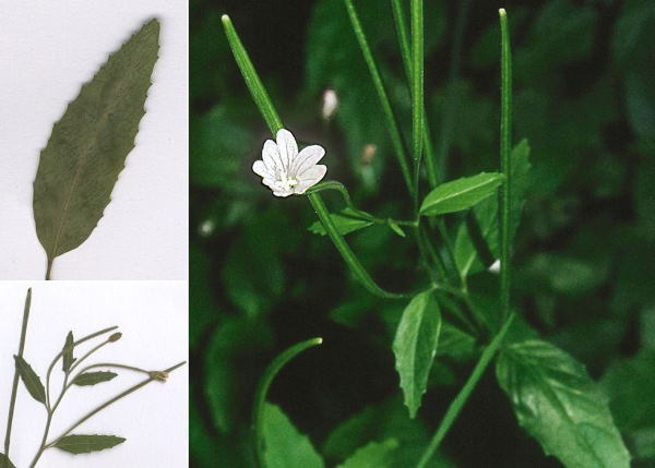Epilobium lanceolatum Sebast. & Mauri