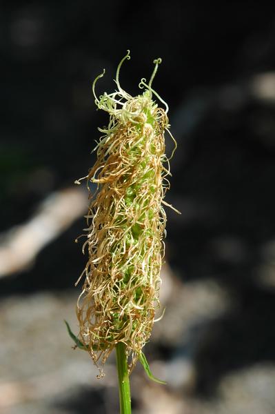 Phyteuma ovatum Honck. subsp. pseudospicatum Pignatti
