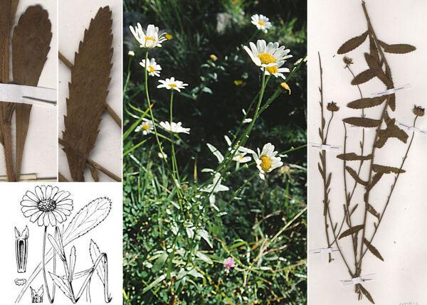 Leucanthemum pallens (J.Gay ex Perreym.) DC.