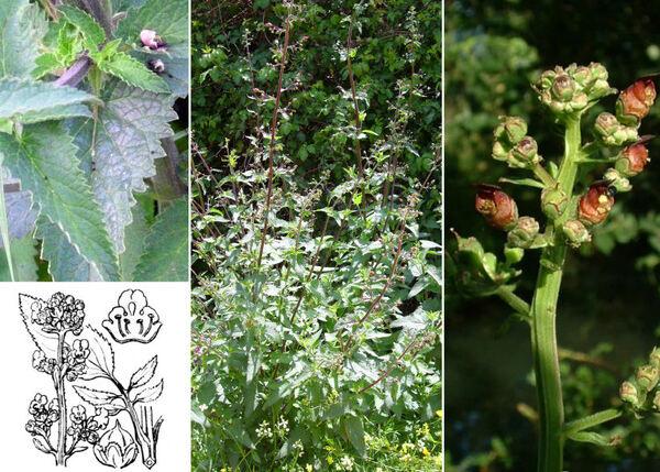 Scrophularia auriculata L. subsp. auriculata