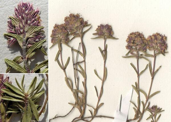 Thymus striatus Vahl subsp. striatus