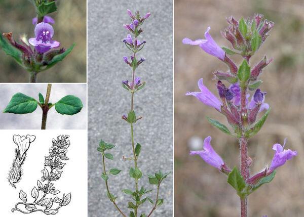 Ziziphora acinos (L.) Melnikov