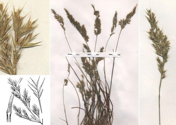 Festuca geniculata (L.) Lag. & Rodr. subsp. geniculata