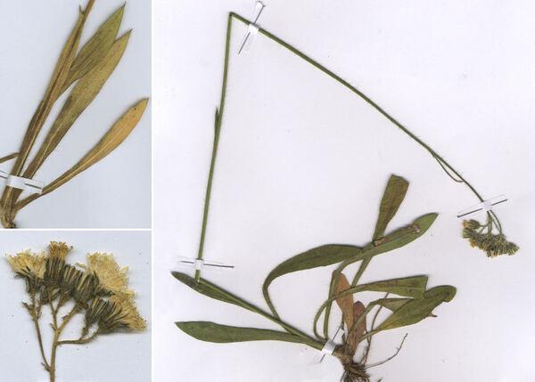 Pilosella piloselloides (Vill.) Soják subsp. praealta (Vill. ex Gochnat) S.Bräut. & Greuter