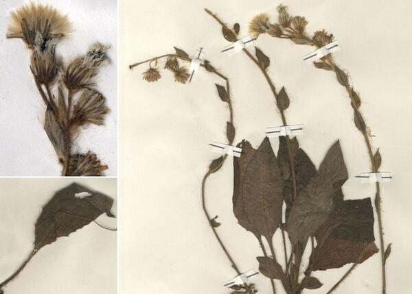 Hieracium racemosum Waldst. & Kit. ex Willd. subsp. virgaurea (Coss.) Zahn