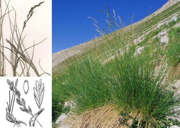Leucopoa dimorpha (Guss.) H.Scholz & Foggi