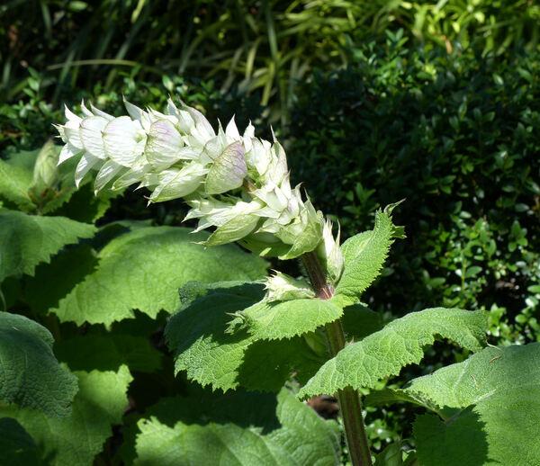 Salvia sclarea L. f. albiflora Matvejeva