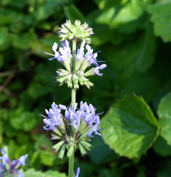 Salvia amasiana Frey. & Bornm.