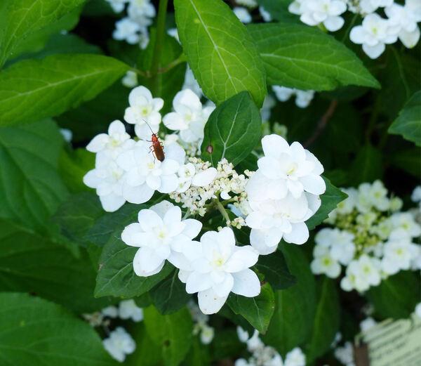 Hydrangea serrata (Thunb.) Ser. 'Fuji No Taki'