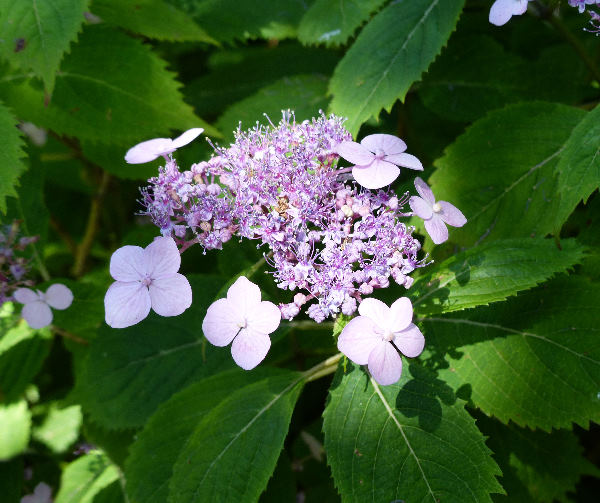 Hydrangea serrata (Thunb.) Ser. 'Blue Billow'