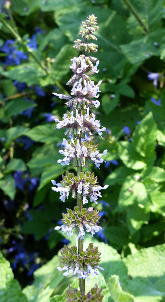 Salvia napifolia Jacq.
