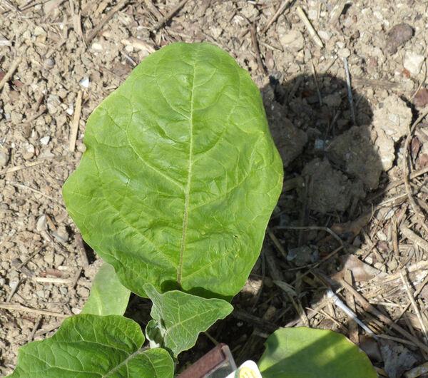 Solanum melongena L. 'Clara F1'