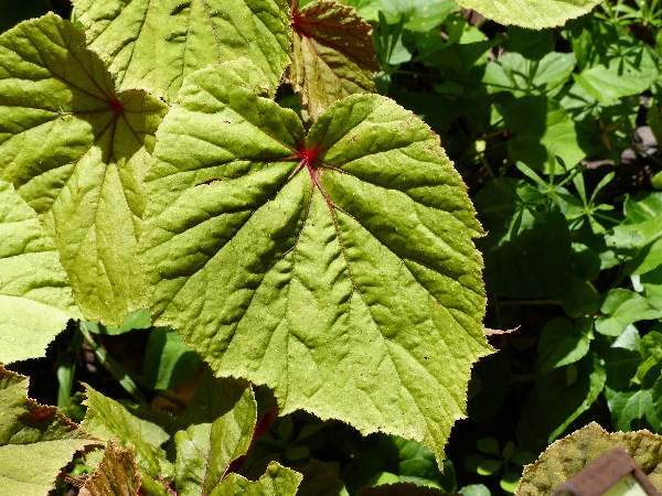 Begonia evansiana C. Andrews 'Alba'