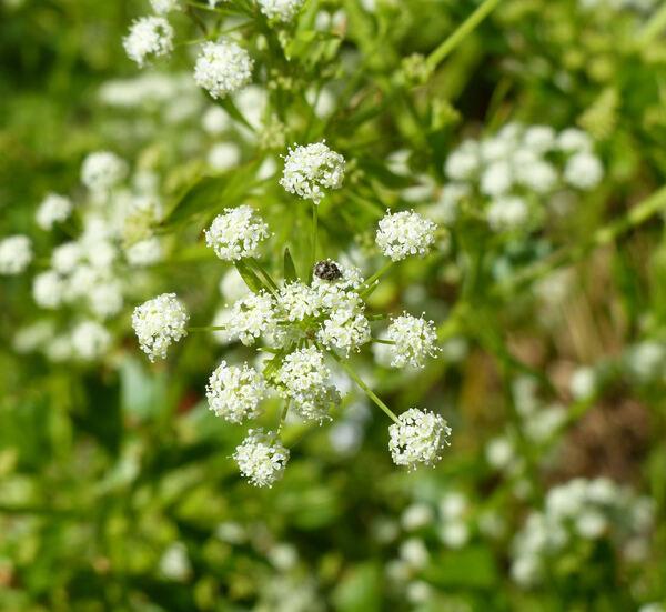 Apium graveolens L. var. dulce hort.