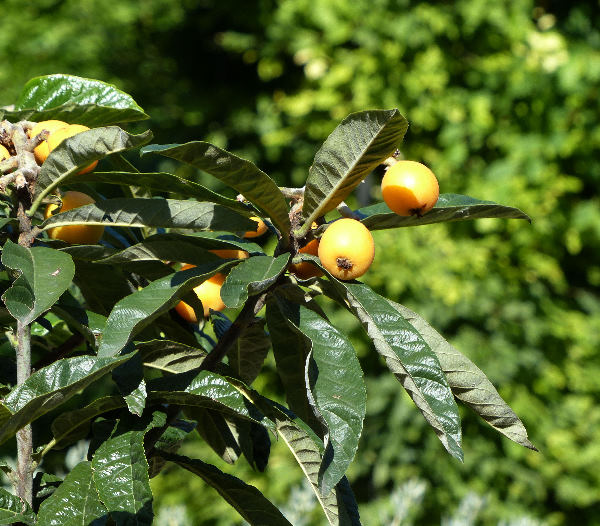Eriobotrya japonica (Thunb.) Lindl.