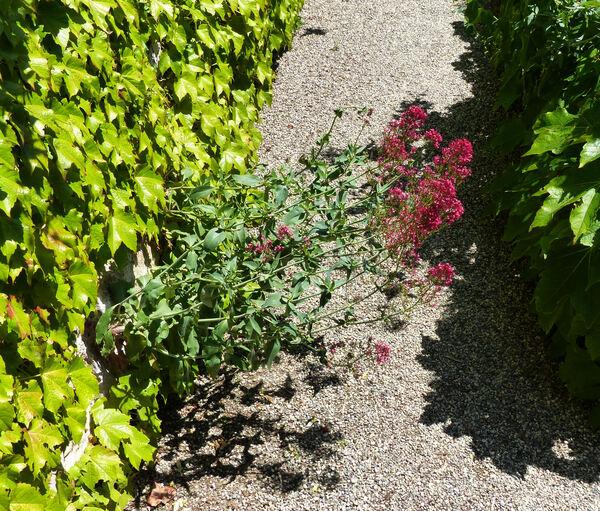 Centranthus ruber (L.) DC. subsp. ruber