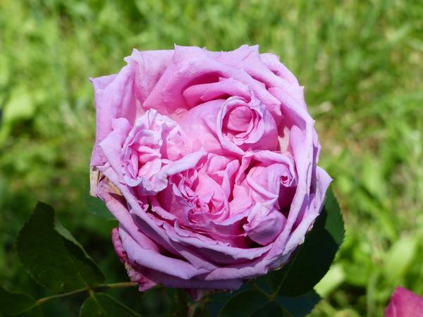 Rosa 'Henri Coupé'