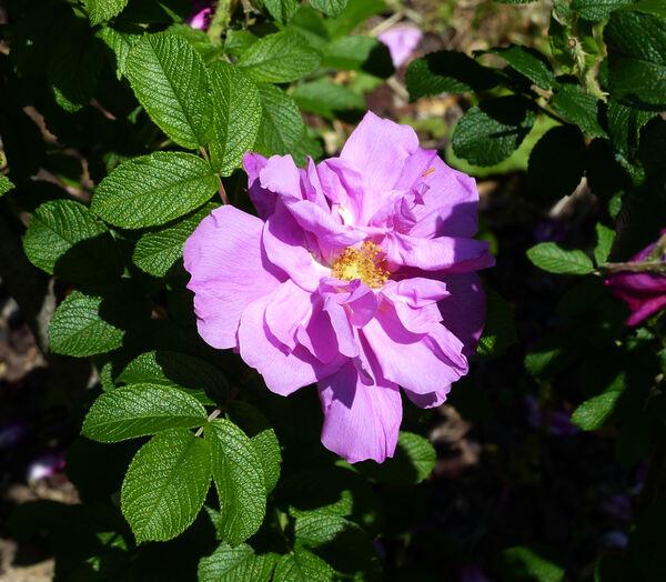 Rosa 'Amélia Graveraux'