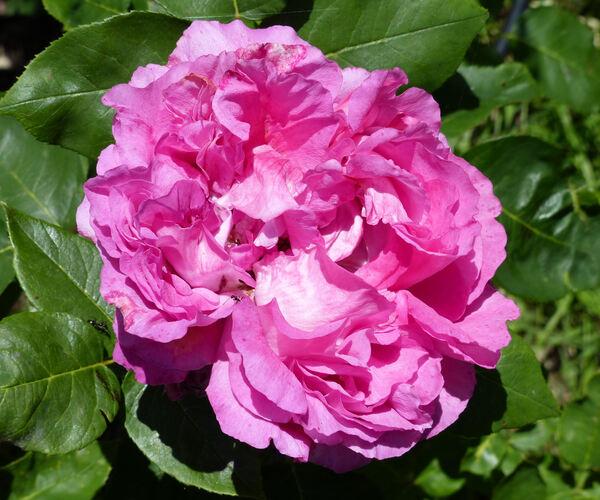 Rosa 'Paul Neyron'