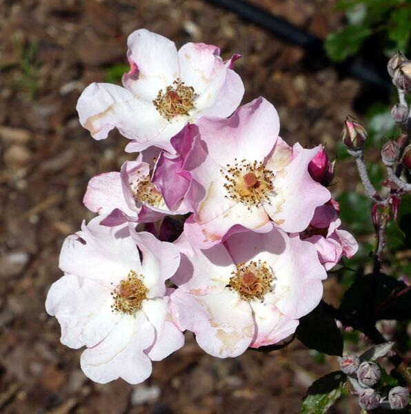 Rosa 'Rosy Cushion ®'