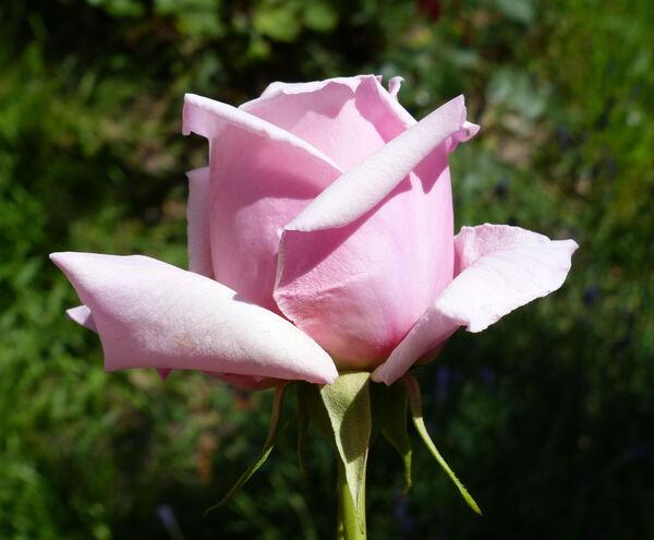 Rosa 'Souvenir du Président Carnot'