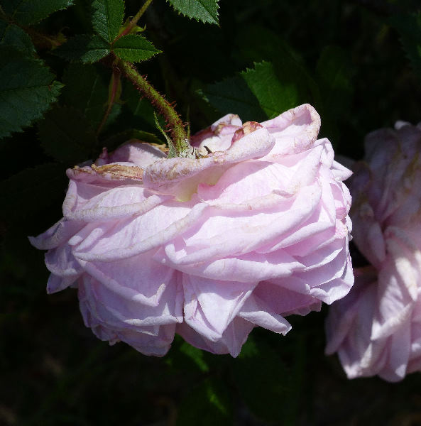 Rosa 'Madame Louis Lévêque'