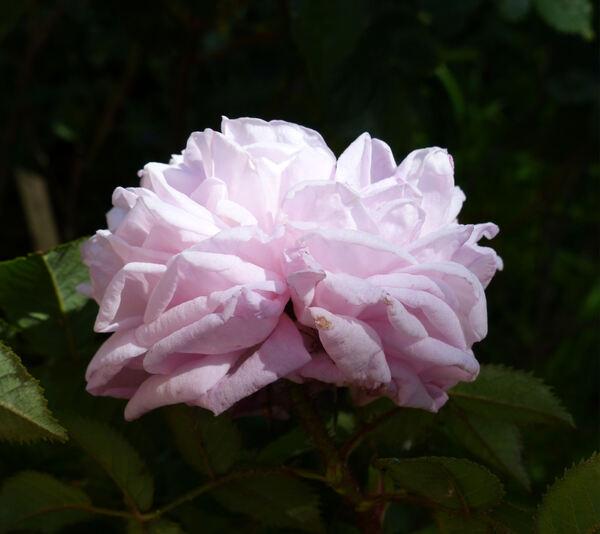Rosa 'Madame Louis Lévêque'
