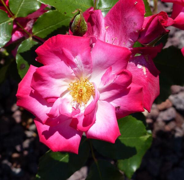 Rosa 'Vie en Rose'