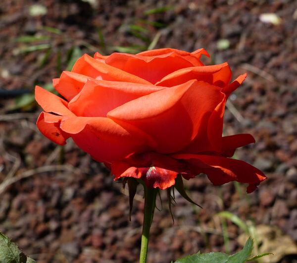 Rosa 'Hei xuanfeng'