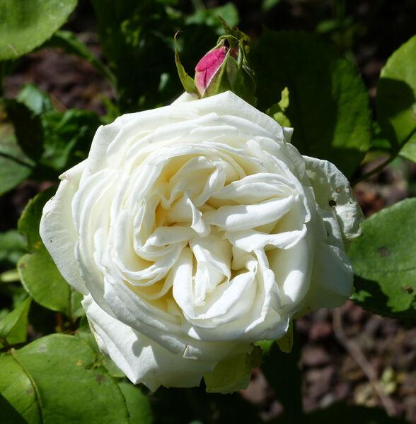 Rosa 'Lü yun'