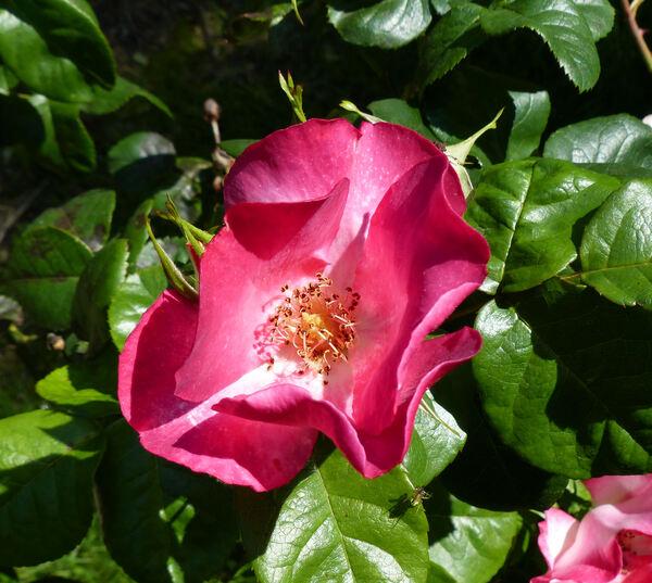 Rosa 'Occhi di Fata ®'