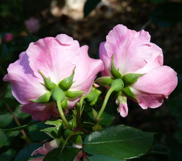 Rosa 'Berenice ®'
