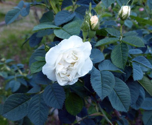 Rosa 'Alba Suaveolens'