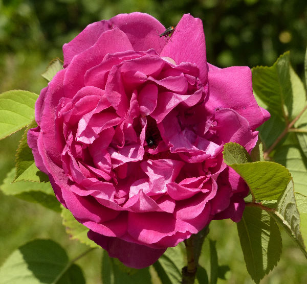 Rosa 'Parfum de l'Hay'