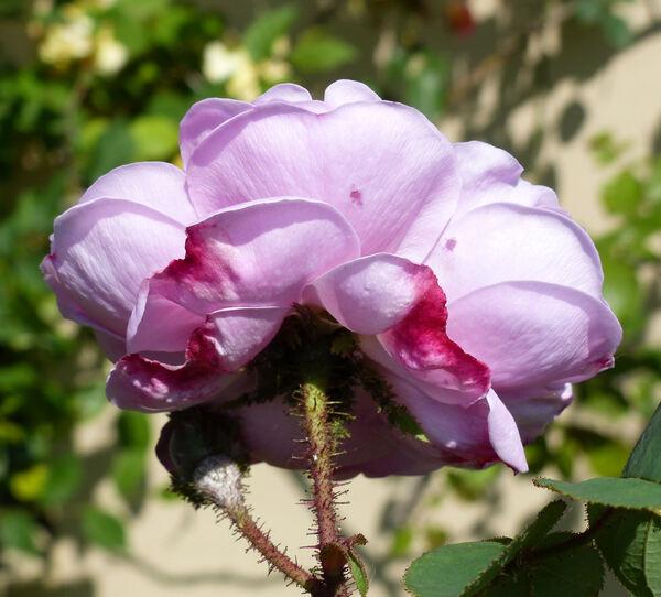 Rosa 'Jeanne de Montfort'