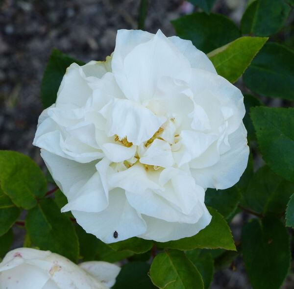 Rosa 'Kronprinzessin Viktoria'