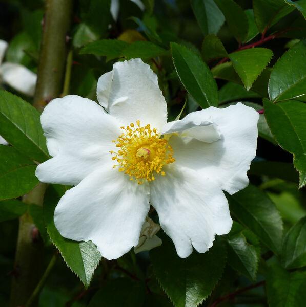 Rosa x odorata (Andrews) Sweet nothovar. gigantea (Collett ex Crép.) Rehder & E. H. Wilson