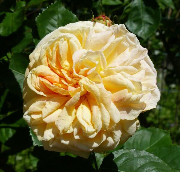 Rosa 'Alchymist'