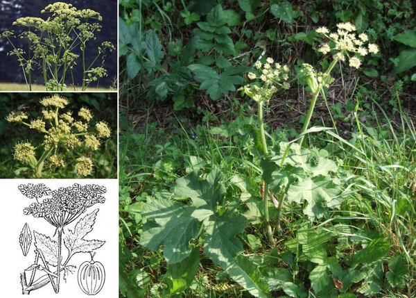Heracleum sibiricum L. subsp. ternatum (Velen.) Briq.