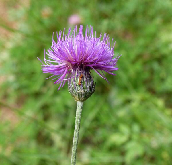 Cirsium pannonicum (L.f.) Link