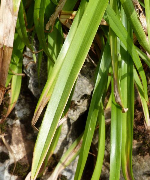 Hemerocallis fulva (L.) L.