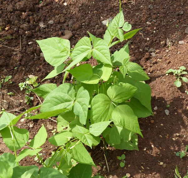 Phaseolus vulgaris L. subsp. vulgaris