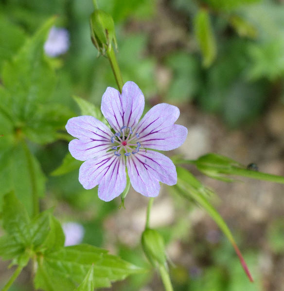 Geranium nodosum L.