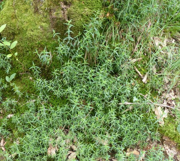 Melampyrum pratense L.