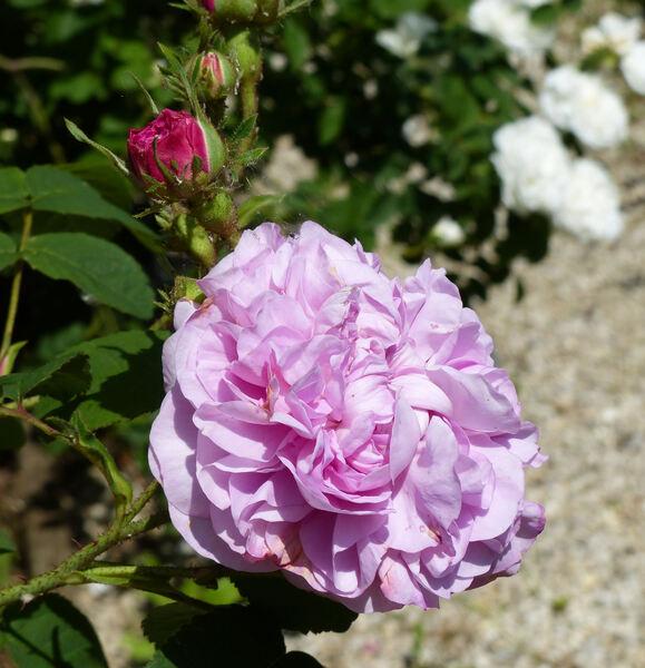 Rosa 'Bella Donna'
