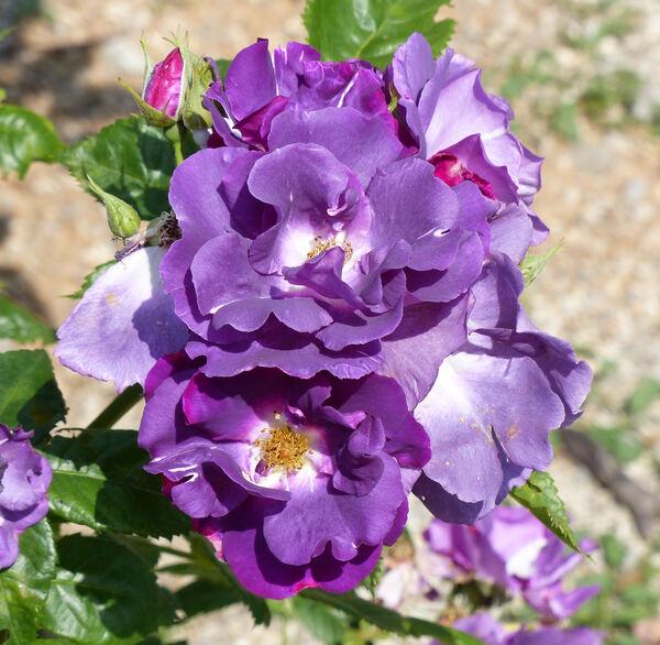 Rosa 'Rhapsody in Blue ™'