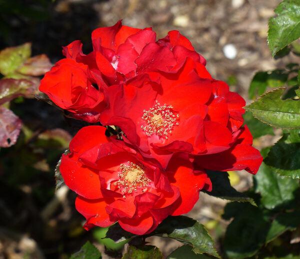 Rosa 'Guizzo Rosso ®'