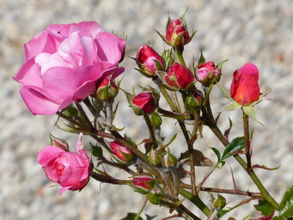 Rosa 'Maxi Vita ®'